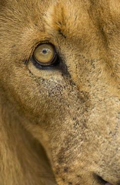 Close-up of a lion's eye - Africa Lion,Panthera leo,Felidae,Cats,Mammalia,Mammals,Carnivores,Carnivora,Chordates,Chordata,Lion d'Afrique,Le�n,leo,Animalia,Savannah,Africa,Scrub,Appendix II,Asia,Panthera,Vulnerable,Desert,Terrestrial,C