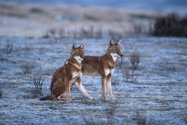 A pair of Ethiopian wolves greet & interact in the early morning - Ethiopia Ethiopian Wolf,Canis simensis,Dog, Coyote, Wolf, Fox,Canidae,Mammalia,Mammals,Chordates,Chordata,Carnivores,Carnivora,Abyssinian wolf,Simien fox,Simien jackal,Loup D'Abyssinie,Lobo Etiope,IUCN Red Lis