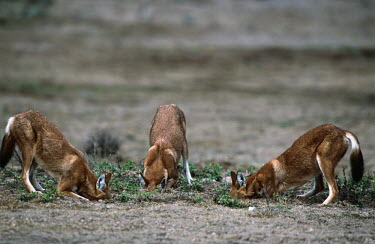 Three Ethiopian wolves searching for rodent prey - Ethiopia predation,hunt,hunter,stalking,Hunting,stalker,hungry,stalk,hunger,forage,gleaning,glean,Foraging,Ethiopian Wolf,Canis simensis,Dog, Coyote, Wolf, Fox,Canidae,Mammalia,Mammals,Chordates,Chordata,Carni