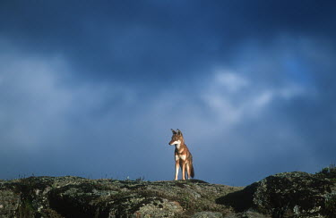 Ethiopian wolf standing in a storm - Ethiopia clouds,Cloud,cloudy,Sky,Storm,stormy,storms,Cloudy sky,Rainstorm,Ethiopian Wolf,Canis simensis,Dog, Coyote, Wolf, Fox,Canidae,Mammalia,Mammals,Chordates,Chordata,Carnivores,Carnivora,Abyssinian wolf,S