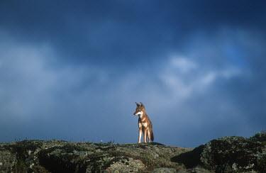 Ethiopian wolf standing in a storm - Ethiopia clouds,Cloud,cloudy,Sky,Storm,stormy,storms,Cloudy sky,Rainstorm,Ethiopian Wolf,Canis simensis,Dog, Coyote, Wolf, Fox,Canidae,Mammalia,Mammals,Chordates,Chordata,Carnivores,Carnivora,Abyssinian wolf,S