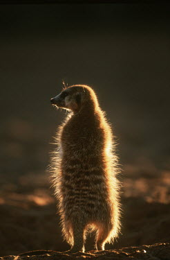 A meerkat warms up in the early morning sun of winter, rear view - Kalahari Desert, Africa aware,on-edge,on edge,cautious,Alert,Meerkat,Suricata suricatta,Herpestidae,Mongooses, Meerkat,Carnivores,Carnivora,Mammalia,Mammals,Chordates,Chordata,Slender-tailed meerkat,suricate,Subterranean,San