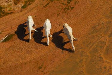 Aerial view of group of camels walking across the desert - Africa Xeric,Desert,herds,gamming,Herd,herding,assemble,dry,Arid,environment,ecosystem,Habitat,Terrestrial,ground,Sand,sand dunes,dunes,Sand dune,dune,Orange background,Camel,Camelus dromedarius,Mammalia,Mam