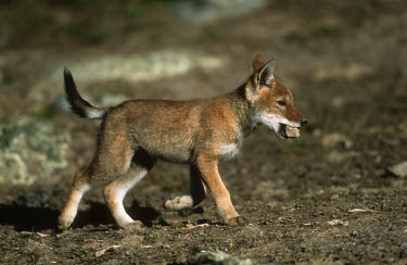 Ethiopian wolf pup - Ethiopia Cub,cubs,play,entertained,entertaining,playing,entertainment,Playful,puppy,puppys,puppies,pups,Pup,Juvenile,immature,child,children,baby,infants,infant,young,babies,Ethiopian Wolf,Canis simensis,Dog,