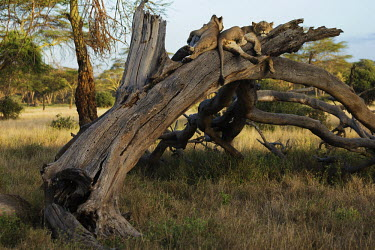 Young male lions sleeping on a dead tree - Africa Lion,Panthera leo,Felidae,Cats,Mammalia,Mammals,Carnivores,Carnivora,Chordates,Chordata,Lion d'Afrique,Le�n,leo,Animalia,Savannah,Africa,Scrub,Appendix II,Asia,Panthera,Vulnerable,Desert,Terrestrial,C