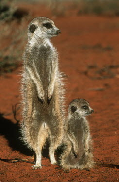 Mother and juvenile meerkat warming up in the early morning sun of winter - Kalahari Desert, Africa Meerkat,Suricata suricatta,Herpestidae,Mongooses, Meerkat,Carnivores,Carnivora,Mammalia,Mammals,Chordates,Chordata,Slender-tailed meerkat,suricate,Subterranean,Sand-dune,Savannah,Africa,Terrestrial,De