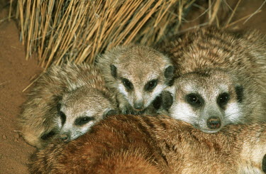 Meerkats huddle together for warmth during winter - Africa cute,positive,gathering,Group,many,collection,assemble,numerous,grouping,collective,gather,assembly,gamming,family,Meerkat,Suricata suricatta,Herpestidae,Mongooses, Meerkat,Carnivores,Carnivora,Mammal