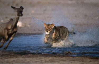 Lioness chasing kudu prey - Namibia Lion,Panthera leo,Felidae,Cats,Mammalia,Mammals,Carnivores,Carnivora,Chordates,Chordata,Lion d'Afrique,Le�n,leo,Animalia,Savannah,Africa,Scrub,Appendix II,Asia,Panthera,Vulnerable,Desert,Terrestrial,C