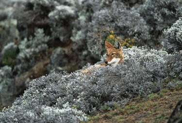 Ethiopian wolf lying in afro-alpine habitat - Ethiopia Ethiopian Wolf,Canis simensis,Dog, Coyote, Wolf, Fox,Canidae,Mammalia,Mammals,Chordates,Chordata,Carnivores,Carnivora,Abyssinian wolf,Simien fox,Simien jackal,Loup D'Abyssinie,Lobo Etiope,IUCN Red Lis