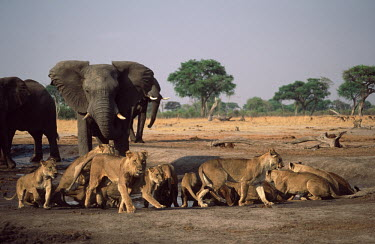 Elephant bull charges lion pride at waterhole - Botswana conflicting,Conflict,Lion,Panthera leo,Felidae,Cats,Mammalia,Mammals,Carnivores,Carnivora,Chordates,Chordata,Lion d'Afrique,Le�n,leo,Animalia,Savannah,Africa,Scrub,Appendix II,Asia,Panthera,Vulnerable
