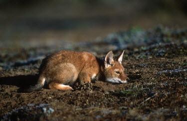 Ethiopian wolf pup lying in the sun - Ethiopia resting,rested,rest,Basking,sunbathing,bask,sunbathe,Ethiopian Wolf,Canis simensis,Dog, Coyote, Wolf, Fox,Canidae,Mammalia,Mammals,Chordates,Chordata,Carnivores,Carnivora,Abyssinian wolf,Simien fox,Si
