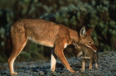 Ethiopian wolf mother & pup interacting - Ethiopia mature,fully grown,Adult,grown up,adults,parenthood,parent,mom,Mother,motherhood,mommy,parental,mum,mummy,Juvenile,immature,child,children,baby,infants,infant,young,babies,puppy,puppys,puppies,pups,Pu