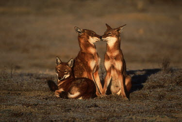 Three Ethiopian wolves greet and interact in the early morning - Ethiopia family,Ethiopian Wolf,Canis simensis,Dog, Coyote, Wolf, Fox,Canidae,Mammalia,Mammals,Chordates,Chordata,Carnivores,Carnivora,Abyssinian wolf,Simien fox,Simien jackal,Loup D'Abyssinie,Lobo Etiope,IUCN