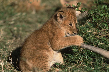 Young lion cub playing with adult's tail - Africa Lion,Panthera leo,Felidae,Cats,Mammalia,Mammals,Carnivores,Carnivora,Chordates,Chordata,Lion d'Afrique,Le�n,leo,Animalia,Savannah,Africa,Scrub,Appendix II,Asia,Panthera,Vulnerable,Desert,Terrestrial,C