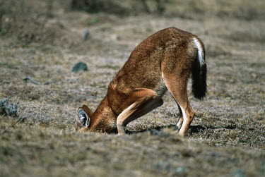 Ethiopian wolf digging for rodents Ethiopia forage,gleaning,glean,Foraging,predation,hunt,hunter,stalking,Hunting,stalker,hungry,stalk,hunger,food,feed,eat,Feeding,eating,Ethiopian Wolf,Canis simensis,Dog, Coyote, Wolf, Fox,Canidae,Mammalia,Mam