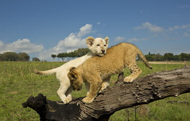 White and tawny Lion cubs playing on a log - Africa Siblings,sibling,family,Offspring,children,young,babies,Cub,cubs,play,entertained,entertaining,playing,entertainment,Playful,Juvenile,immature,child,baby,infants,infant,positive,cute,Lion,Panthera leo