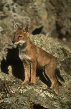 Ethiopian wolf pup - Ethiopia Portrait,face picture,face shot,Cub,cubs,Juvenile,immature,child,children,baby,infants,infant,young,babies,puppy,puppys,puppies,pups,Pup,Ethiopian Wolf,Canis simensis,Dog, Coyote, Wolf, Fox,Canidae,Ma