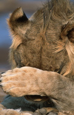 Male lion covering face with paw -  Africa Portrait,face picture,face shot,Grassland,Facial portrait,face,Terrestrial,ground,savannahs,savana,savannas,shrubland,savannah,Savanna,environment,ecosystem,Habitat,Lion,Panthera leo,Felidae,Cats,Mamm