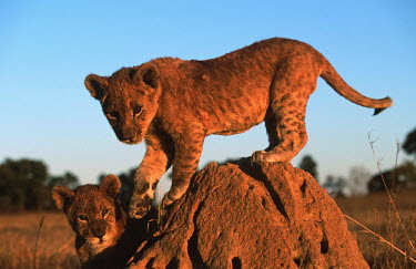 Two month old lion cubs playing on a termite mound - Africa Lion,Panthera leo,Felidae,Cats,Mammalia,Mammals,Carnivores,Carnivora,Chordates,Chordata,Lion d'Afrique,Le�n,leo,Animalia,Savannah,Africa,Scrub,Appendix II,Asia,Panthera,Vulnerable,Desert,Terrestrial,C