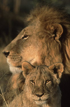 Lion cub sitting with adult male - Africa positive,Cub,cubs,cute,bond,bonding,Love,mature,fully grown,Adult,grown up,adults,dad,parenthood,parent,daddy,Father,fatherhood,parental,Juvenile,immature,child,children,baby,infants,infant,young,babi