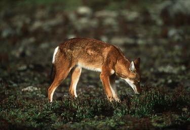 Ethiopian wolf sniffing the ground - Ethiopia forage,gleaning,glean,Foraging,predation,hunt,hunter,stalking,Hunting,stalker,hungry,stalk,hunger,Ethiopian Wolf,Canis simensis,Dog, Coyote, Wolf, Fox,Canidae,Mammalia,Mammals,Chordates,Chordata,Carni