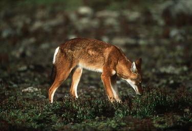 Ethiopian wolf sniffing the ground - Ethiopia forage,gleaning,glean,Foraging,predation,hunt,hunter,stalking,Hunting,stalker,hungry,stalk,hunger,Ethiopian Wolf,Canis simensis,Dog, Coyote, Wolf, Fox,Canidae,Mammalia,Mammals,Chordates,Chordata,Carni