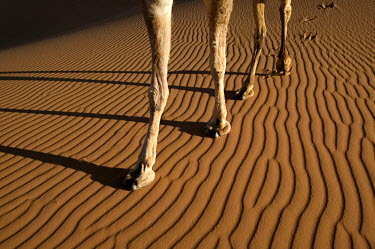 Camel legs on ridged sand - Morocco, Africa Camel,Camelus dromedarius,Mammalia,Mammals,Chordates,Chordata,Even-toed Ungulates,Artiodactyla,Camelidae,Camels