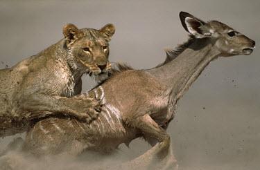 Lioness brings young kudu prey down - Namibia Lion,Panthera leo,Felidae,Cats,Mammalia,Mammals,Carnivores,Carnivora,Chordates,Chordata,Lion d'Afrique,Le�n,leo,Animalia,Savannah,Africa,Scrub,Appendix II,Asia,Panthera,Vulnerable,Desert,Terrestrial,C