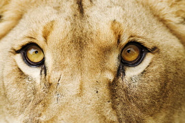 Close-up of a lioness eyes - Africa Lion,Panthera leo,Felidae,Cats,Mammalia,Mammals,Carnivores,Carnivora,Chordates,Chordata,Lion d'Afrique,Le�n,leo,Animalia,Savannah,Africa,Scrub,Appendix II,Asia,Panthera,Vulnerable,Desert,Terrestrial,C