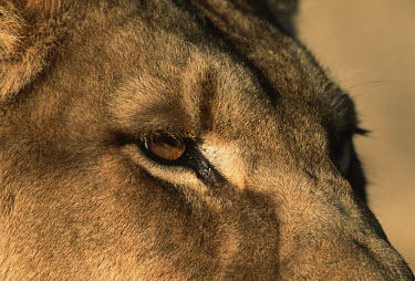 Close-up portrait of a lioness - Africa Lion,Panthera leo,Felidae,Cats,Mammalia,Mammals,Carnivores,Carnivora,Chordates,Chordata,Lion d'Afrique,Le�n,leo,Animalia,Savannah,Africa,Scrub,Appendix II,Asia,Panthera,Vulnerable,Desert,Terrestrial,C