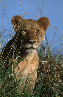 Portrait of lioness sitting in long grass - Africa Terrestrial,ground,lady,female,girl,woman,Grassland,lionesses,Lioness,environment,ecosystem,Habitat,Lion,Panthera leo,Felidae,Cats,Mammalia,Mammals,Carnivores,Carnivora,Chordates,Chordata,Lion d'Afriq
