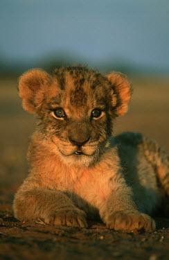 One month old lion cub portrait - Africa Lion,Panthera leo,Felidae,Cats,Mammalia,Mammals,Carnivores,Carnivora,Chordates,Chordata,Lion d'Afrique,Le�n,leo,Animalia,Savannah,Africa,Scrub,Appendix II,Asia,Panthera,Vulnerable,Desert,Terrestrial,C