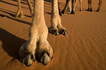 Close-up of camel foot and two toes - Morocco, Africa Camel,Camelus dromedarius,Mammalia,Mammals,Chordates,Chordata,Even-toed Ungulates,Artiodactyla,Camelidae,Camels