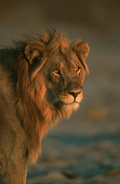 Male lion portrait at sunset - Namibia savannahs,savana,savannas,shrubland,savannah,Savanna,Portrait,face picture,face shot,Grassland,environment,ecosystem,Habitat,Facial portrait,face,Terrestrial,ground,Lion,Panthera leo,Felidae,Cats,Mamm