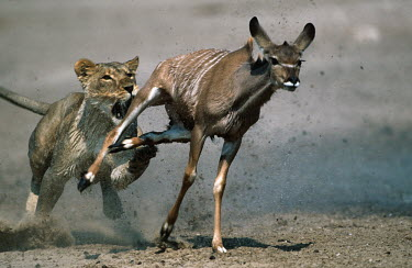 Lioness persuing and tripping young kudu prey - Namibia Carnivorous,Carnivore,carnivores,Natural threats,run,Running,sprint,sprinting,Chasing,chase,chased,predation,hunt,hunter,stalking,Hunting,stalker,hungry,stalk,hunger,Killing,prey,preyed,killed,kill,fi