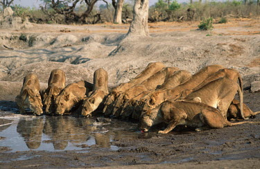 Large lion pride drinking at a waterhole - Botswana Lion,Panthera leo,Felidae,Cats,Mammalia,Mammals,Carnivores,Carnivora,Chordates,Chordata,Lion d'Afrique,Le�n,leo,Animalia,Savannah,Africa,Scrub,Appendix II,Asia,Panthera,Vulnerable,Desert,Terrestrial,C