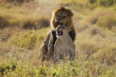 Male and female lioness mating - Africa Lion,Panthera leo,Felidae,Cats,Mammalia,Mammals,Carnivores,Carnivora,Chordates,Chordata,Lion d'Afrique,Le�n,leo,Animalia,Savannah,Africa,Scrub,Appendix II,Asia,Panthera,Vulnerable,Desert,Terrestrial,C