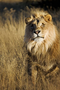 Male lion sitting in tall grass - Namibia Lion,Panthera leo,Felidae,Cats,Mammalia,Mammals,Carnivores,Carnivora,Chordates,Chordata,Lion d'Afrique,Le�n,leo,Animalia,Savannah,Africa,Scrub,Appendix II,Asia,Panthera,Vulnerable,Desert,Terrestrial,C