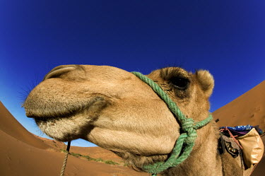 Camel head side portrait - Morocco, Africa Xeric,Desert,arid,drought,waterless,no water,dried up,barren,baked,Dry,parched,moistureless,Sky,blue skies,sunny,Blue sky,bright,Tourism,dry,Arid,Terrestrial,ground,environment,ecosystem,Habitat,Camel