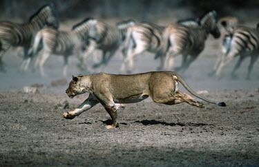 Lioness stalking and chasing prey - Namibia Lion,Panthera leo,Felidae,Cats,Mammalia,Mammals,Carnivores,Carnivora,Chordates,Chordata,Lion d'Afrique,Le�n,leo,Animalia,Savannah,Africa,Scrub,Appendix II,Asia,Panthera,Vulnerable,Desert,Terrestrial,C