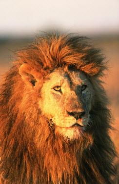 Portrait of male lion in the sun - Africa Lion,Panthera leo,Felidae,Cats,Mammalia,Mammals,Carnivores,Carnivora,Chordates,Chordata,Lion d'Afrique,Le�n,leo,Animalia,Savannah,Africa,Scrub,Appendix II,Asia,Panthera,Vulnerable,Desert,Terrestrial,C