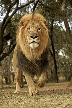 Male lion running towards camera - South Africa Lion,Panthera leo,Felidae,Cats,Mammalia,Mammals,Carnivores,Carnivora,Chordates,Chordata,Lion d'Afrique,Le�n,leo,Animalia,Savannah,Africa,Scrub,Appendix II,Asia,Panthera,Vulnerable,Desert,Terrestrial,C