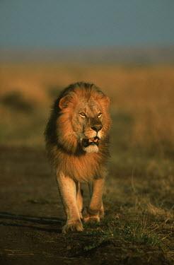 Portrait of male lion walking in the sunset - Kenya Lion,Panthera leo,Felidae,Cats,Mammalia,Mammals,Carnivores,Carnivora,Chordates,Chordata,Lion d'Afrique,Le�n,leo,Animalia,Savannah,Africa,Scrub,Appendix II,Asia,Panthera,Vulnerable,Desert,Terrestrial,C