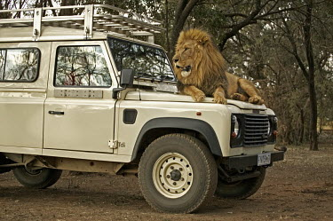 Male lion lying on the bonnet of tourist vehicle - South Africa Lion,Panthera leo,Felidae,Cats,Mammalia,Mammals,Carnivores,Carnivora,Chordates,Chordata,Lion d'Afrique,Le�n,leo,Animalia,Savannah,Africa,Scrub,Appendix II,Asia,Panthera,Vulnerable,Desert,Terrestrial,C