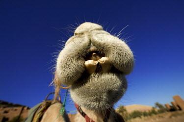 Close-up of camel nose - Morocco, Africa Camel,Camelus dromedaries