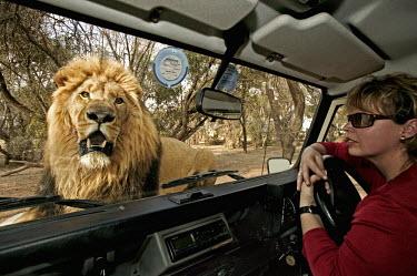 Lion looking through window of tourist vehicle - South Africa Lion,Panthera leo,Felidae,Cats,Mammalia,Mammals,Carnivores,Carnivora,Chordates,Chordata,Lion d'Afrique,Le�n,leo,Animalia,Savannah,Africa,Scrub,Appendix II,Asia,Panthera,Vulnerable,Desert,Terrestrial,C