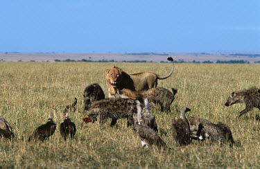 Lion, hyaena & vultures together in the grassland - Kenya Terrestrial,ground,savannahs,savana,savannas,shrubland,savannah,Savanna,environment,ecosystem,Habitat,Grassland,food,feed,hungry,eat,hunger,Feeding,eating,Competition,compete,competitive,Lion,Panthera