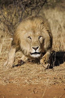 Male lion running towards camera - Namibia savannahs,savana,savannas,shrubland,savannah,Savanna,Terrestrial,ground,fierce,scary,run,Running,sprint,sprinting,action,movement,move,Moving,in action,in motion,motion,Grassland,environment,ecosystem