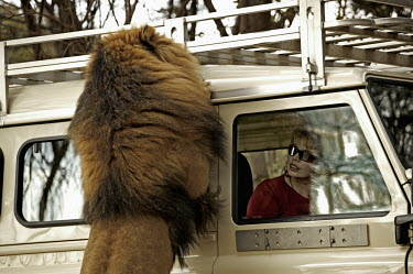 Male lion on hind legs looking through window of tourist vehicle - South Africa Lion,Panthera leo,Felidae,Cats,Mammalia,Mammals,Carnivores,Carnivora,Chordates,Chordata,Lion d'Afrique,Le�n,leo,Animalia,Savannah,Africa,Scrub,Appendix II,Asia,Panthera,Vulnerable,Desert,Terrestrial,C