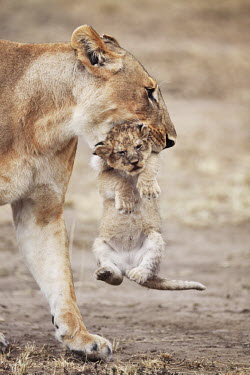 Lioness carrying cub - Kenya mature,fully grown,Adult,grown up,adults,lady,female,girl,woman,Cub,cubs,parenthood,parent,mom,Mother,motherhood,mommy,parental,mum,mummy,lionesses,Lioness,Juvenile,immature,child,children,baby,infant